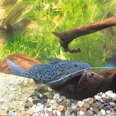 Black-Spotted Synodontis M