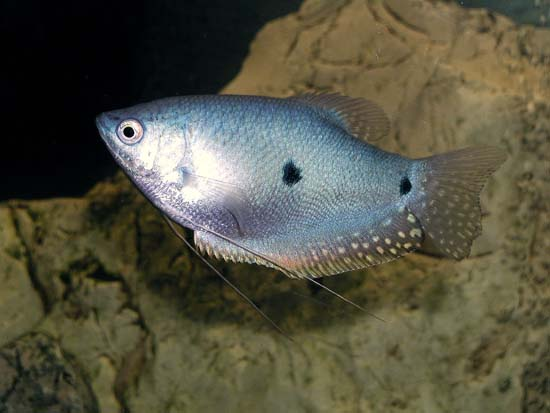 Blue Gourami ML