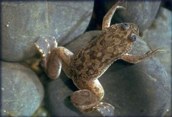 African Claw Frog M