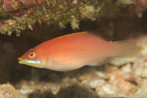 Pyjama Wrasse - Secretive S