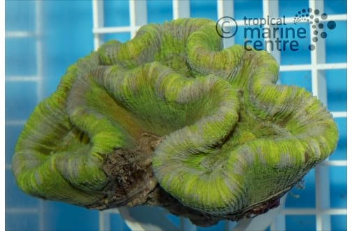 Brain - Coral Sea - Folded - Coloured L