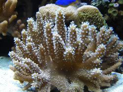 Cultured Finger Coral - White Polyp M