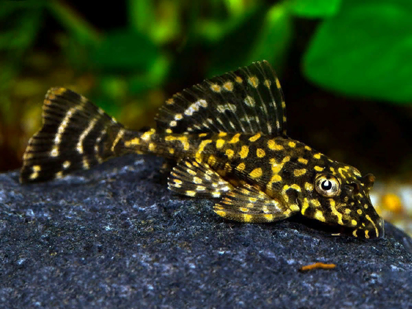 L001 Gold Spotted Pleco M
