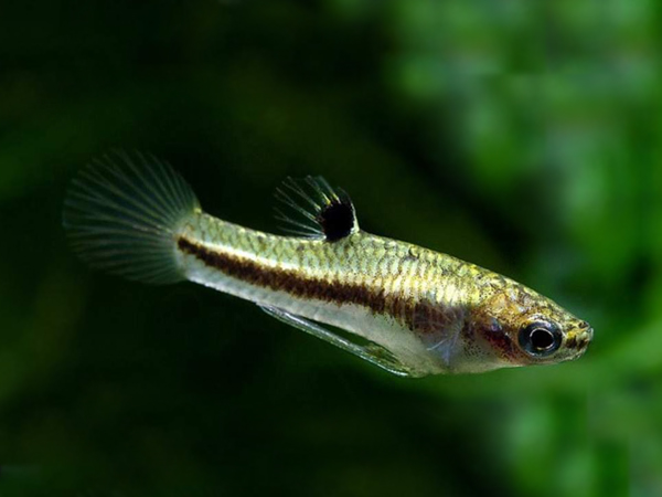 Least Killifish M