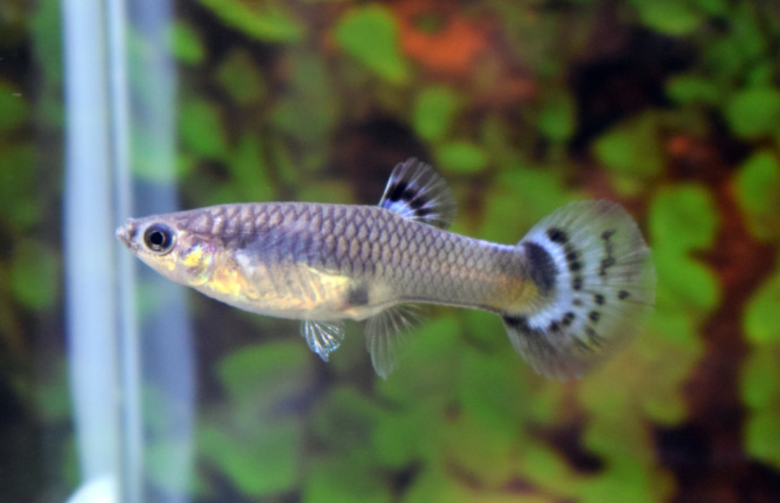 Guppy Snakeskin Blue Female M