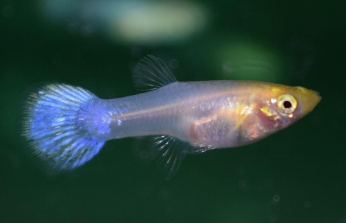Guppy Snow White Female M
