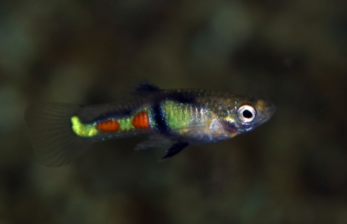 Poecilia wingei 'El Tigre' Male/Female M