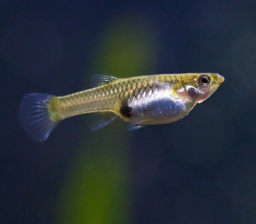 Endler's Guppy Female M