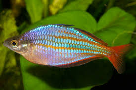 Wapoga Red Lazer Rainbowfish S/M