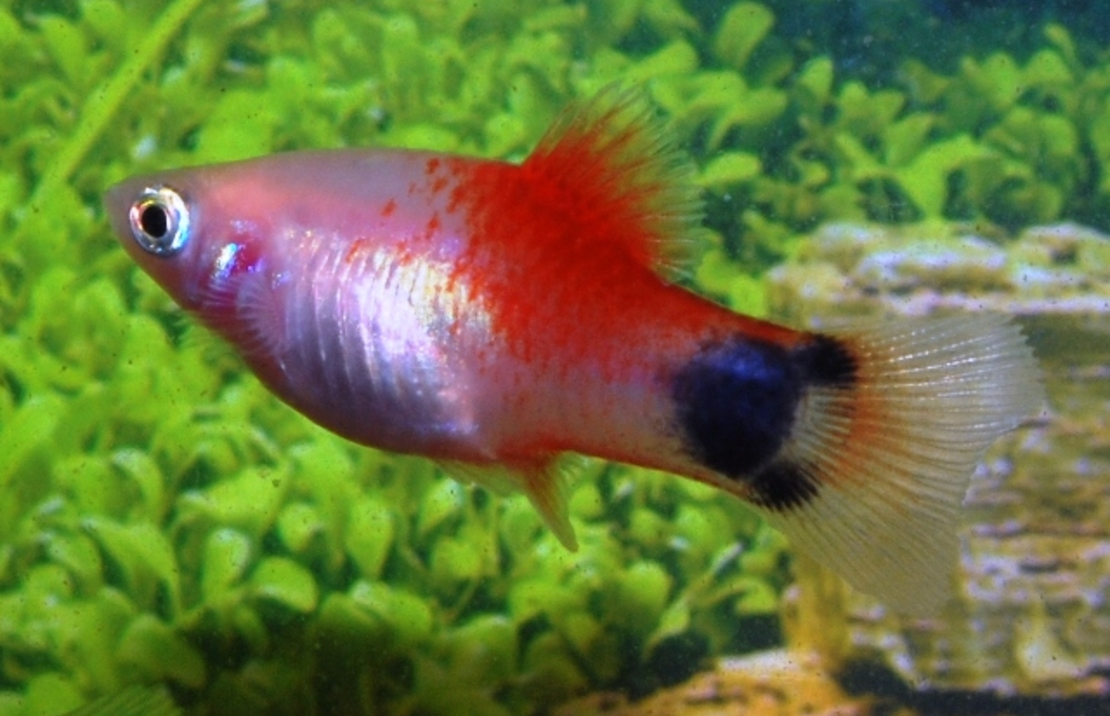Xiphophorus maculatus 'White Red Top Mickey' M