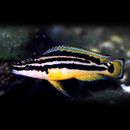 Julidochromis ornatus S