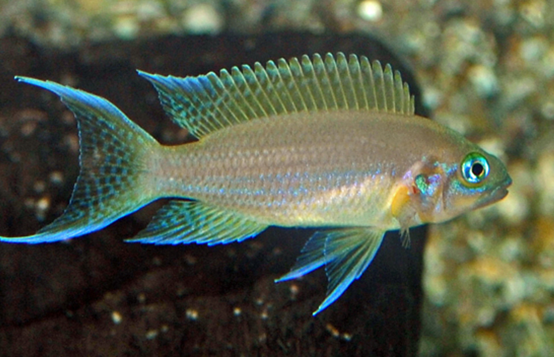 Neolamprologus pulcher 'Daffodil' M