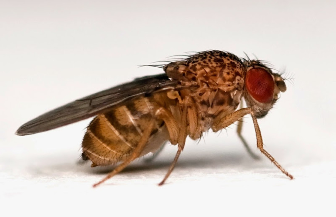 Drosophila hydei S