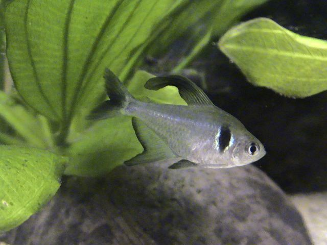Black Phantom Tetra M