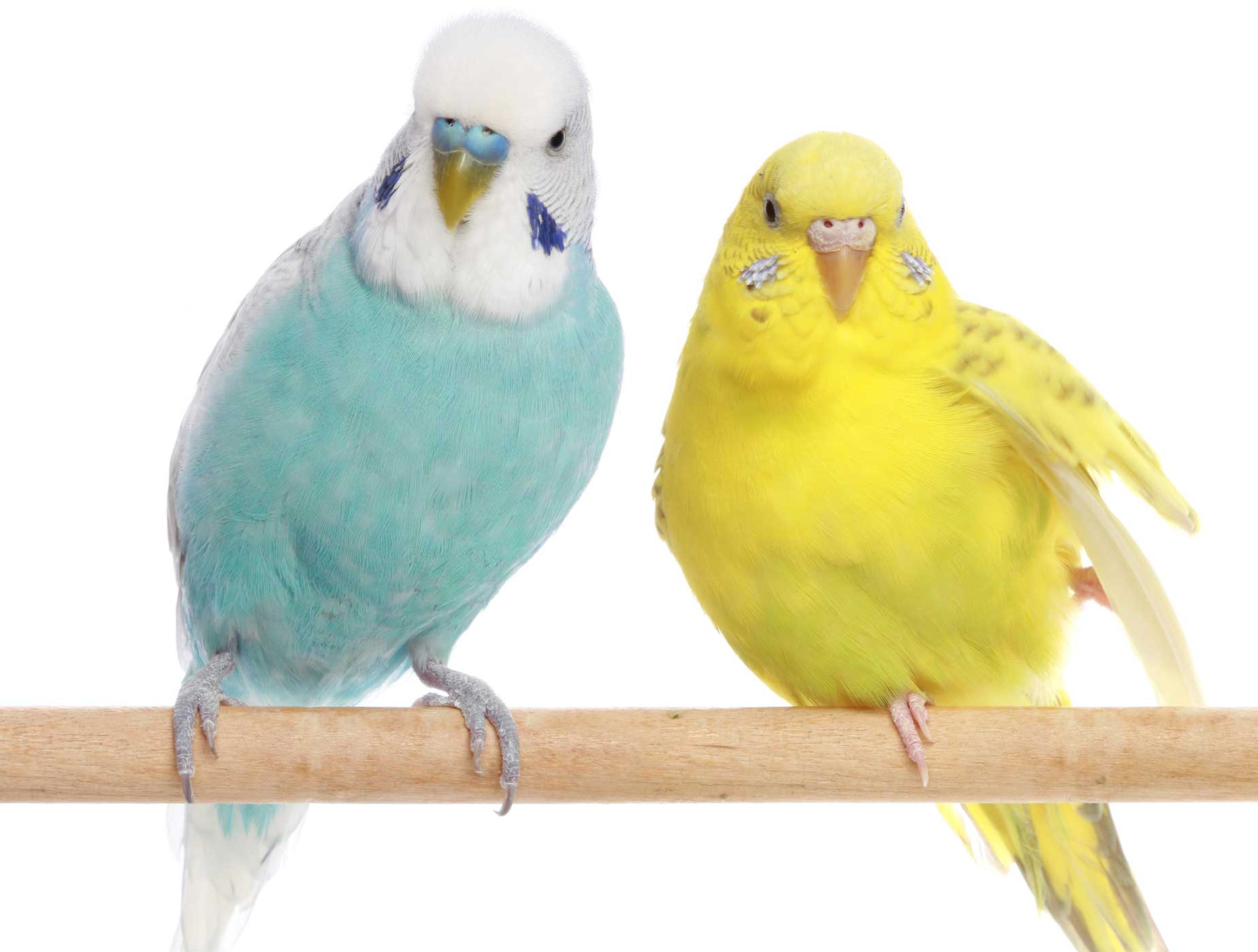 Complete 1 - Budgerigar w/Cage - UPPSELT!