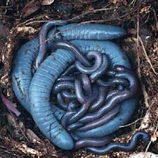 Caecilians (blindormar)