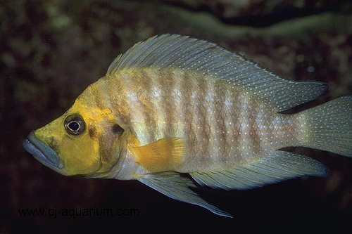 Neolamprologus compressiceps ML
