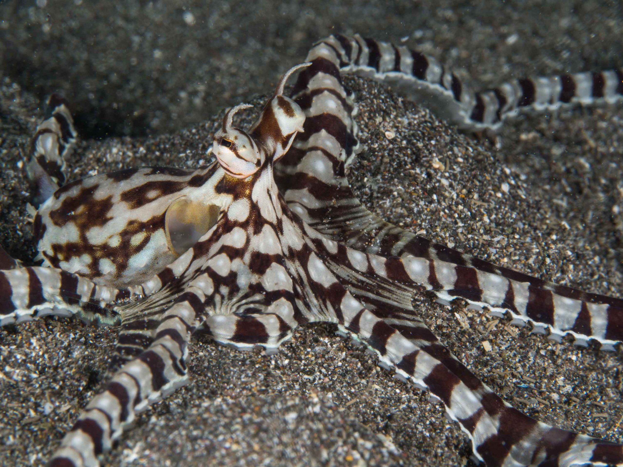 Thaumoctopus mimicus AS