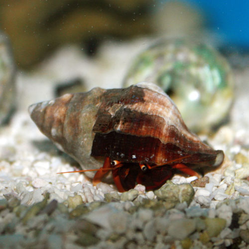 Hermit Crab - Rock M