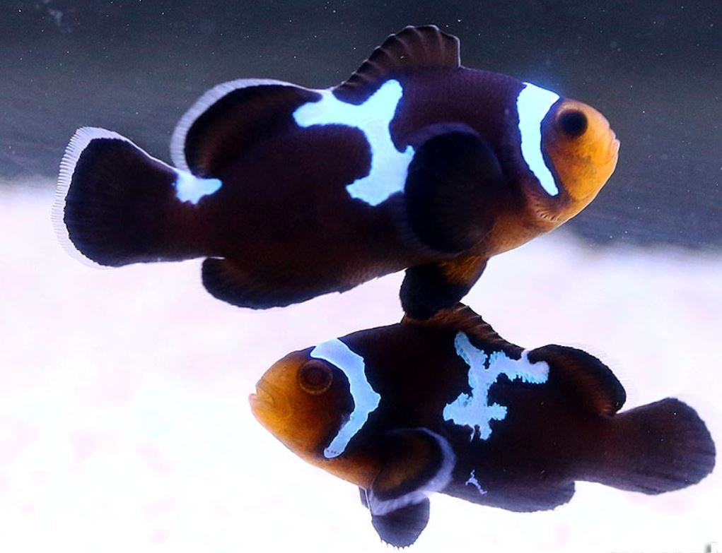 Amphiprion ocellaris 'Midnight Lightning' (Pair) T/B AS
