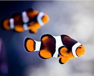 Amphiprion ocellaris 'Photon' (Pair) T/B AS