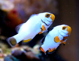 Amphiprion ocellaris 'Platinum Snow Onyx' (Pair) T/B AS