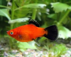 Red Wagtail Platy ML