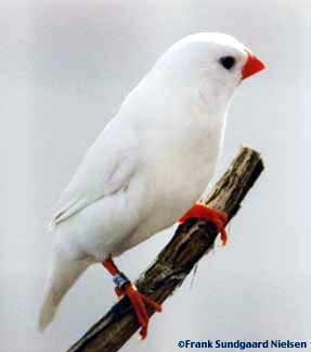 White Zebra Finch - SELDIR!