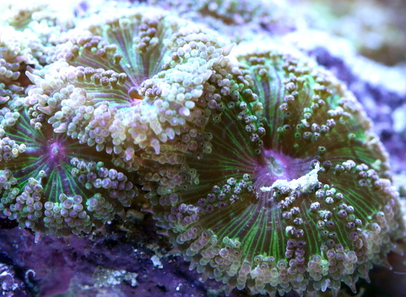 Carpet Anemone - Mini Maxi M - SELT!