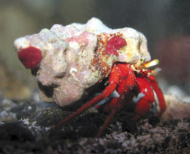 Hermit Crab - Rock Red Leg M - SELT!